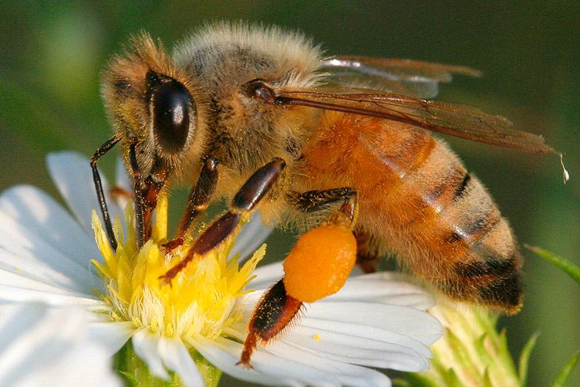 Ученые ответили на вопрос, могут ли пчелы жалить друг друга