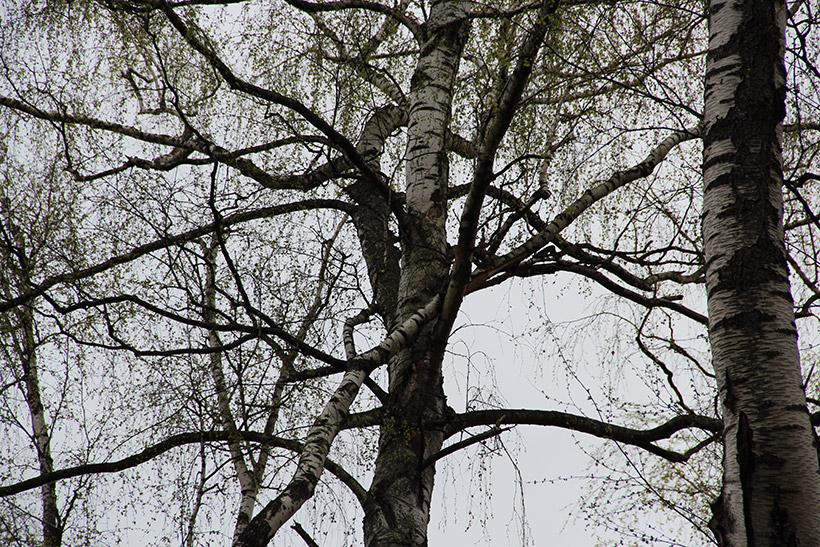 «Падающее» дерево в Крылатском лесу