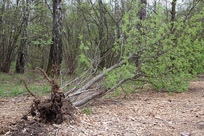 В Крылатском лесу падают деревья